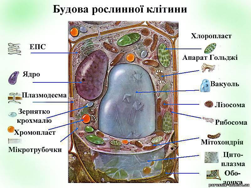 Будова клітини рослин.